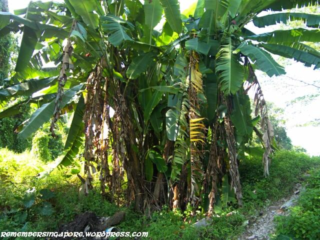 banana trees at lorong terigu