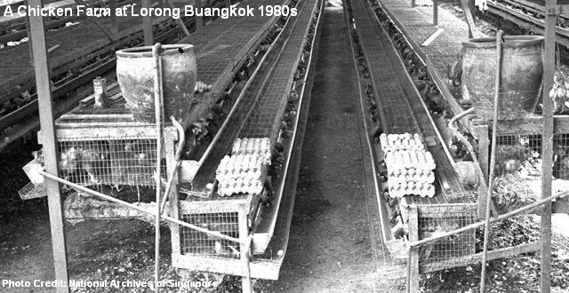 chicken farm at lorong buangkok 1980s