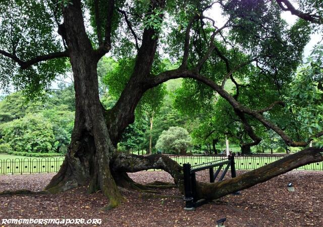 botanic gardens tembusu tree
