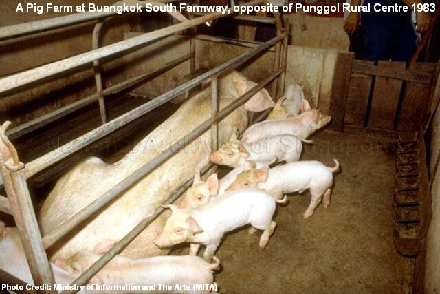 buangkok south farmway pig farm 1983