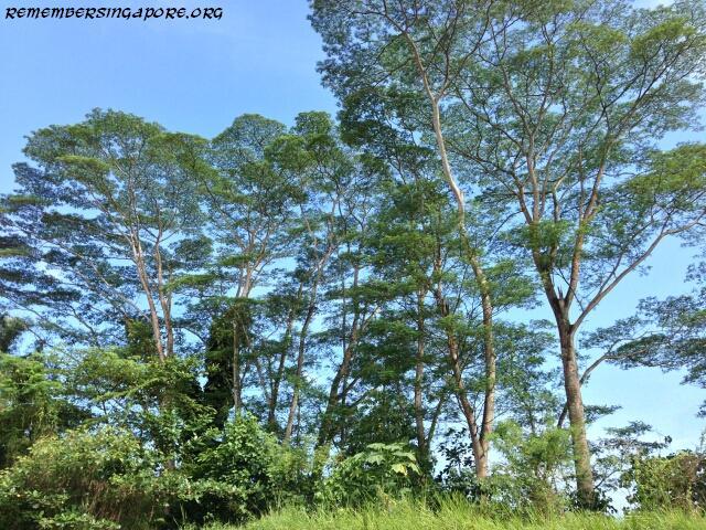 jalan bahtera trees